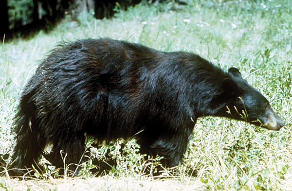 Bear hunt continues amid controversy, lawsuits