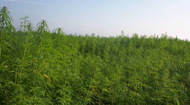 More details Industrial hemp production in France