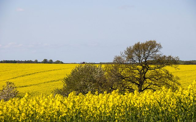 Canola meal: a potential protein alternative