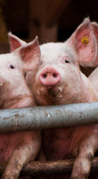 MU researchers produce virus-resistant pigs