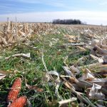 Cover Crops (Rye Grass)