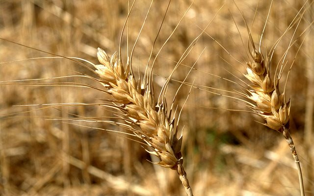 Scientists create GE wheat with lower gluten levels