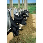 Cows lined up in stanchions at confined animal feeding operation (CAFO).