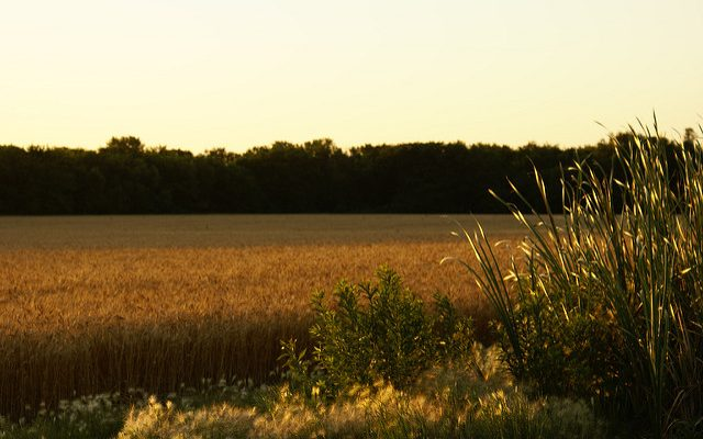 A wheat field in Kansas. (Brian McGuirk via Flickr)