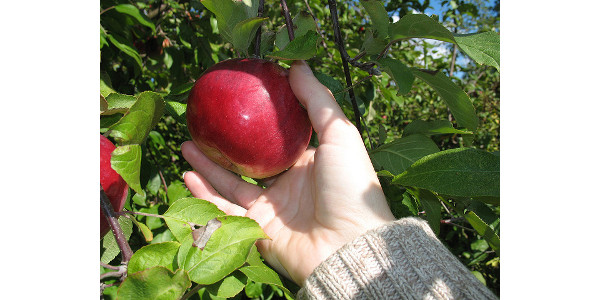Minnesota apple harvest in full swing