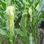 corn silking