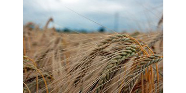 Wheat, double-crop soybeans look profitable