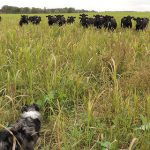 Angus cows graze on cover crops at Tom Finnegan's farm in Minnesota.