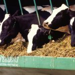 Holstein dairy cows eat a prescribed feed to support good health. USDA photo by Scott Bauer.