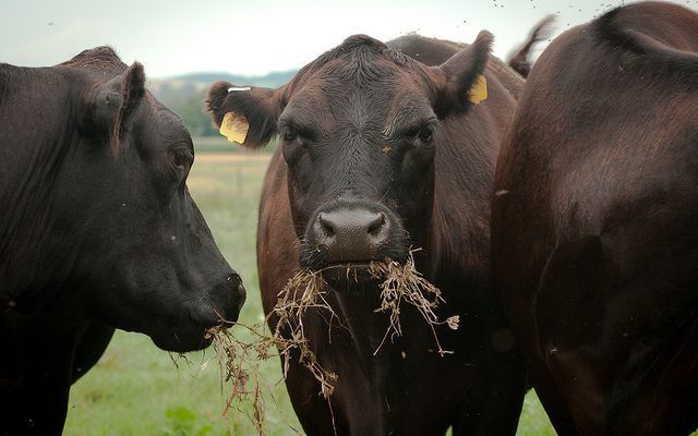 Winter ration considerations for beef cows