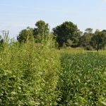 Palmer Amaranth in the Field. (United Soybean Board via Flickr)