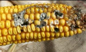 Kernel damage and ear rot on non-Bt corn. Damage along the side of the ear is characteristic of western bean cutworm feeding. (Photo: Chris DiFonzo, MSU)