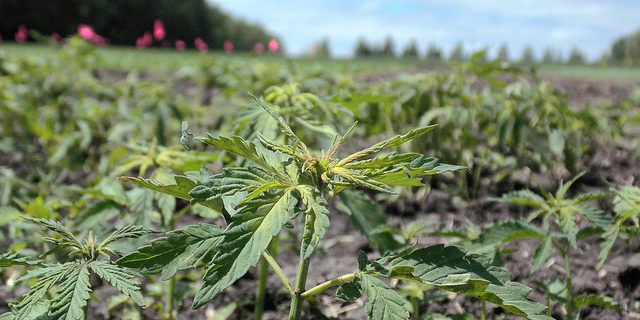 Hemp stigma fades as scores apply for permits