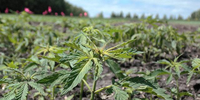 Lilu's Garden predicts record 2019 hemp harvest | Morning Ag