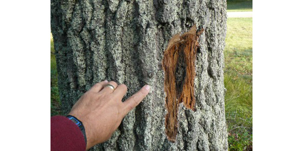 Oak wilt spore mat and pressure pad exposed from underneath the bark of a dead oak. (Michigan State University Extension)