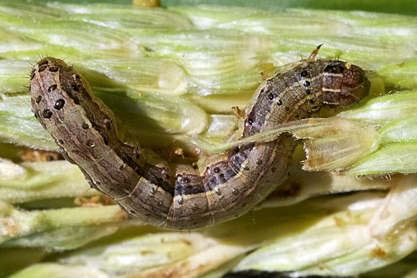 Did the winter kill any crop insect pests?