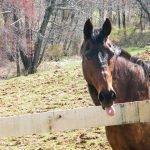 Smart alec horse. (JACoxwell via Flickr)