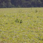marestail in field