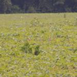 marestail in field