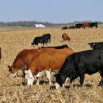 Corn residue is a tremendous feed resource for cattle in Nebraska. (Photo Courtesy of USDA)