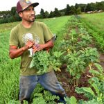 """Some 75,000 people operate farms in Minnesota, but less than 1% are Latino. Eduardo Rivera is one of them. The 33-year-old harvests produce at Sin Fronteras (""""without borders"""") organic farm in Stillwater on Friday, Sept. 9, 2016. (Pioneer Press: Jean Pieri)"""