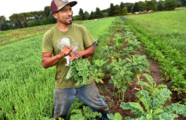 "Some 75,000 people operate farms in Minnesota, but less than 1% are Latino. Eduardo Rivera is one of them. The 33-year-old harvests produce at Sin Fronteras (""without borders"") organic farm in Stillwater on Friday, Sept. 9, 2016. (Pioneer Press: Jean Pieri)"