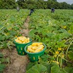 Migrant farm workers carefully select, trim and fill baskets with yellow squash for cleaning and packing aboard a mobile processing trailer. (USDA photo by Lance Cheung via Flickr)