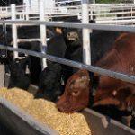 cattle-feeding-at-trough2
