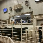 A top group of Angus heifers sell at the Show-Me-select Sale Nov. 18.