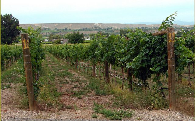 A vineyard near the Grand River Winery in Palisade, Colo. (Don Graham via Flickr)