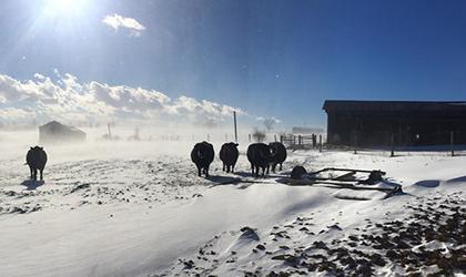Cold weather preparedness for pasture cattle