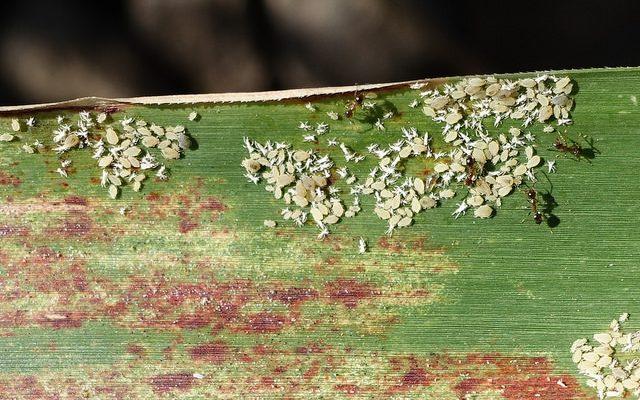 sugarcane aphid