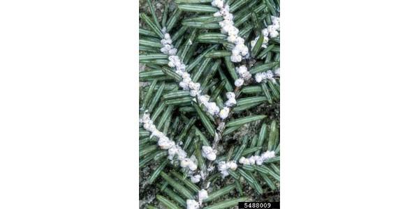 Hemlock woolly adelgid
