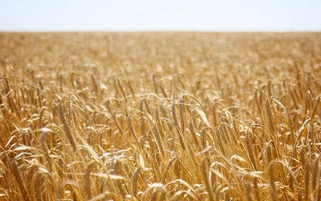 Estimating grain yields
