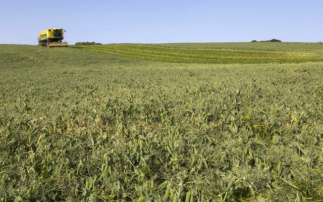 Learn about growing peas, lentils, chickpeas