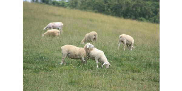 Birth management clinic for sheep & goats