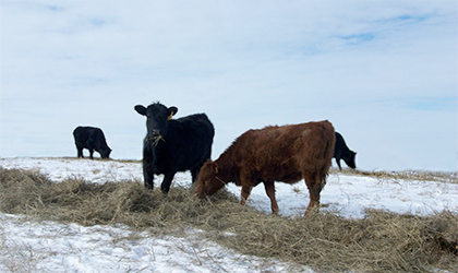 Snowstorms and cattle on winter range