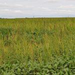 Waterhemp-infested field. (Photo Credit: Liz Stahl, UMN Extension)