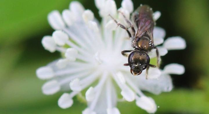 Native sweat bees thrive amongst farms