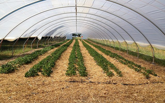 high tunnel strawberries