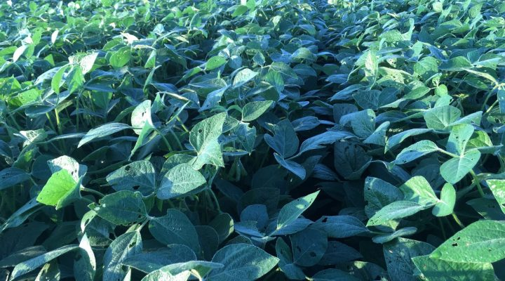 Yield penalty from second year soybean