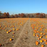 2016 was a bumper pumpkin year for many growers. (MSU Extension)