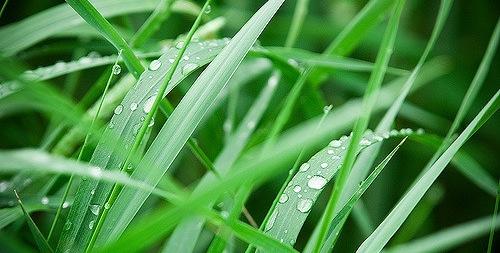 Company wants GMO grass deregulated