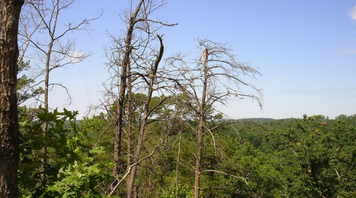 Combating Southern Pine Beetle