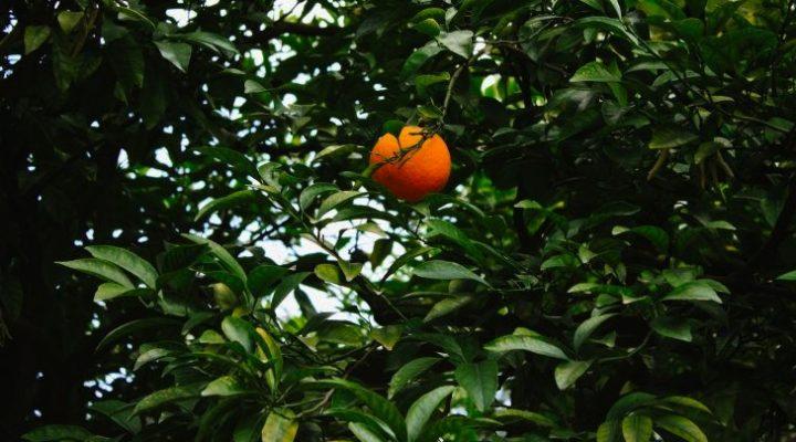 Putnam on citrus crop forecast