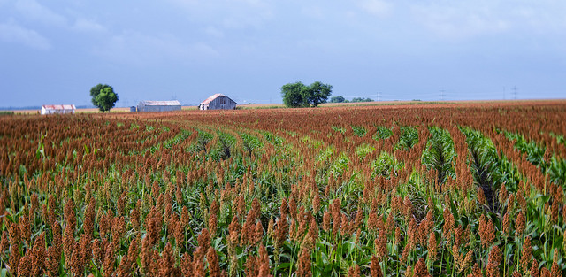 S&W commences sorghum production