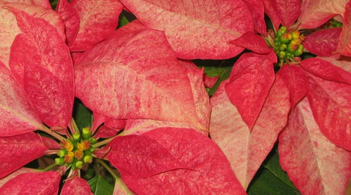 Poinsettias are more than showy leaves