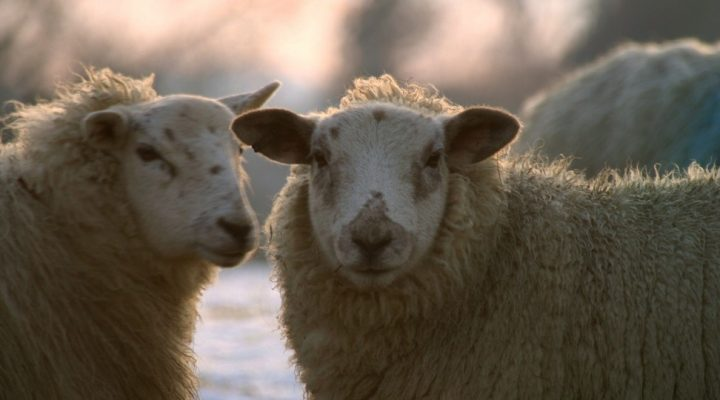 Sheep industry lists priorities