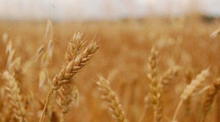 Tools drive study of wheat genes