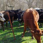 Calf Tagging, Inoculation, Branding and Castration Day